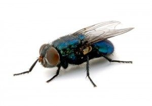 pest control for flies