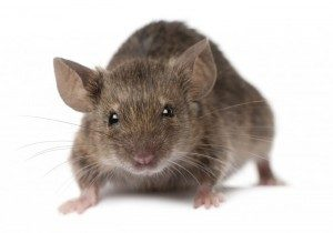 mice pest control london