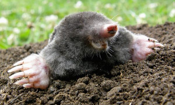 mole exterminator