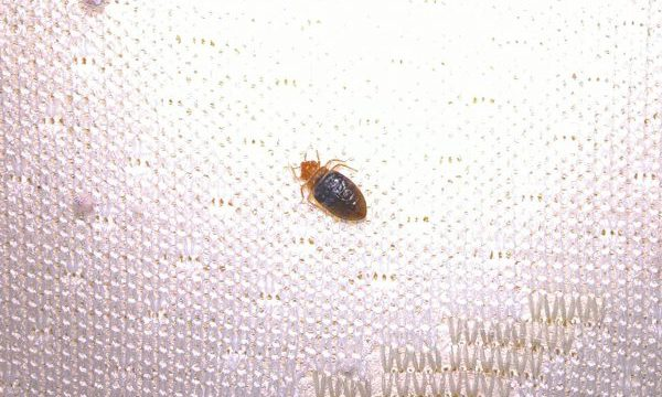 bed bug treatment